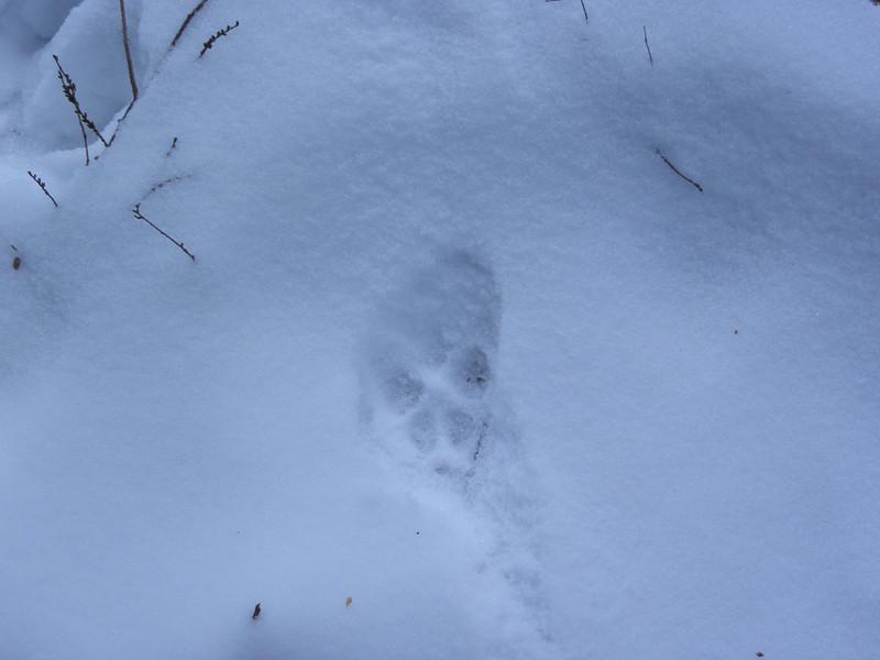 Coyote track.JPG