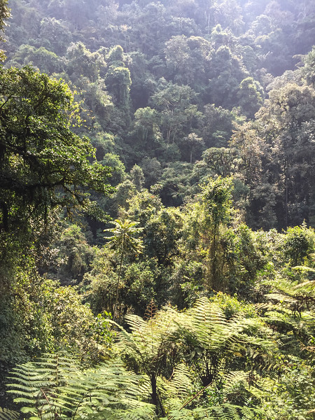 One of the oldest forests in Africa – note the tree ferns