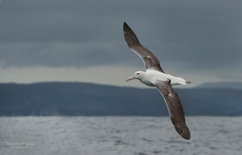 Southern Royal Albatross, Stewart Island Pelagic, SI, NZ, Jan 2013-1.jpg