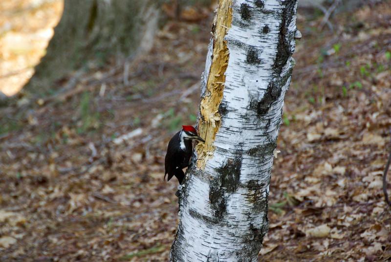 Backyard woodpecker (6 of 7)