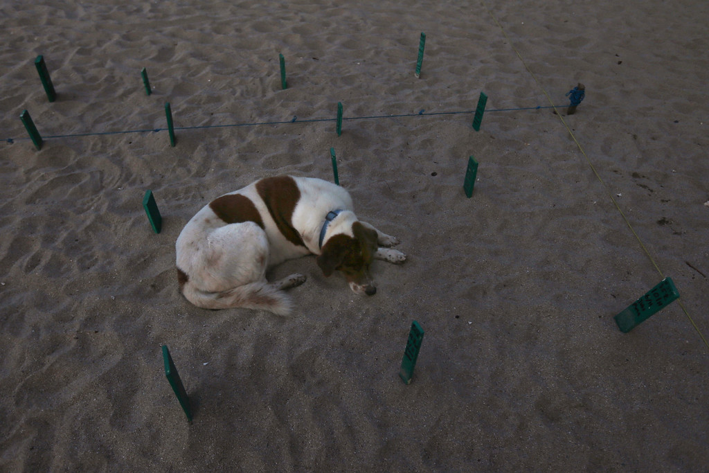 ". In this Saturday, Dec. 2, 2017 photo, a dog named Lulu lies protectively in an area of the beach where recently laid olive ridley sea turtles eggs were relocated in Sayulita, Nayarit state, Mexico. A local non-profit organization ""Red Tortuguera\"" is helping the turtles survive by relocating recently laid eggs to a protected area of the beach, to evade poachers, then collecting the hatchlings to keep them safe from bird attacks and releasing them as a group every Saturday at sunset. (AP Photo/Marco Ugarte)"