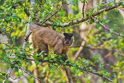 Black Capped or Tufted Capuchin monlkey