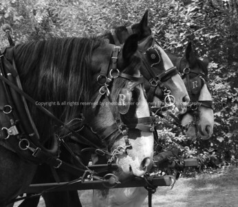 018-draft_horse-calgary_can-05sep03- bw-0391