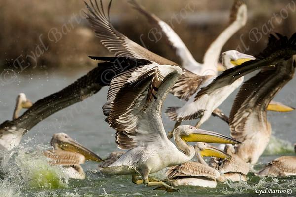 Waterbirds - עופות מים
