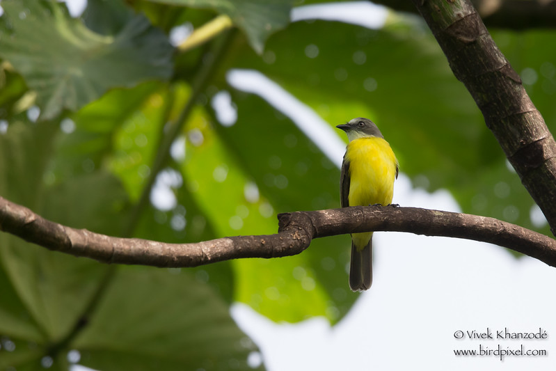 Gray-capped Flycatcher - Record - Amazonia Lodge, Nr. Manu National Park, Peru