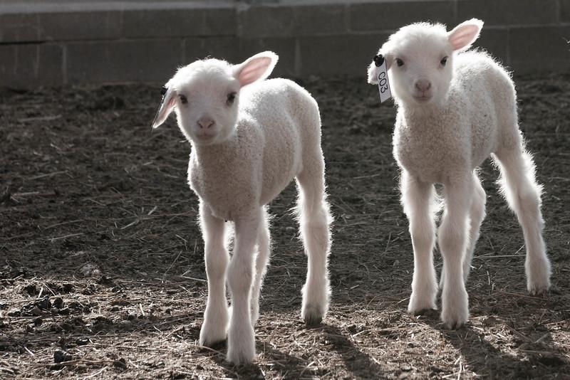 Lambs_2445.jpg