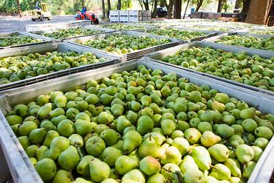 Pear Harvest Begins