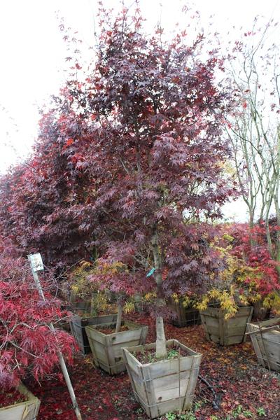 Acer palmatum 'Bloodgood' Specimen 2.5 in #24 box.jpg