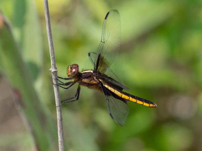 Widow Skimmer (Libellula luctuosa), female
