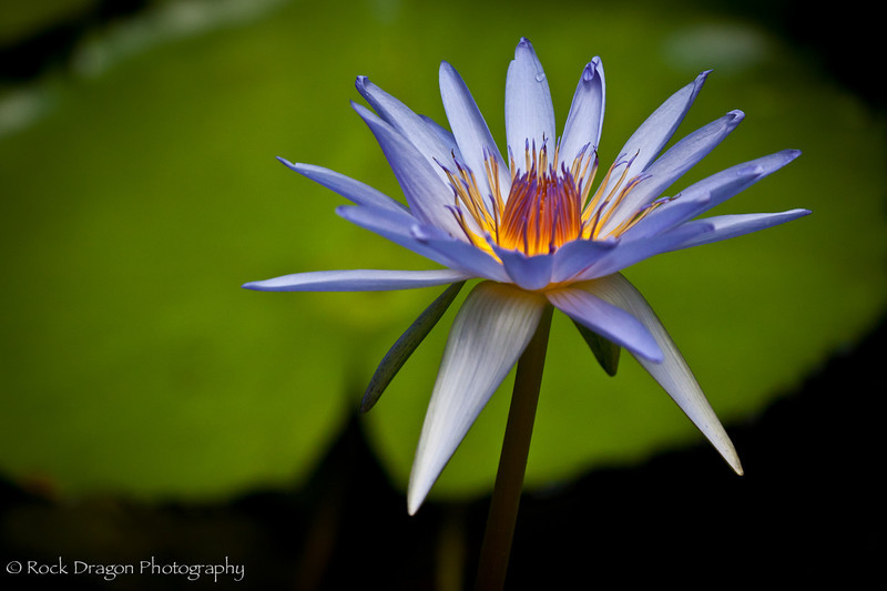 A water lily at Xcaret Eco-Park in Mexico.