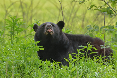 Black Bears and Cubs