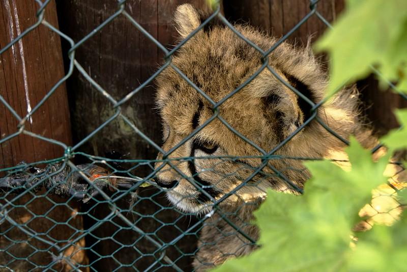 Gepardí mrňous bedlivě sleduje klokany naproti. A taky dokazuje, že v elektrickém ohradníku evidentně není proud ;)