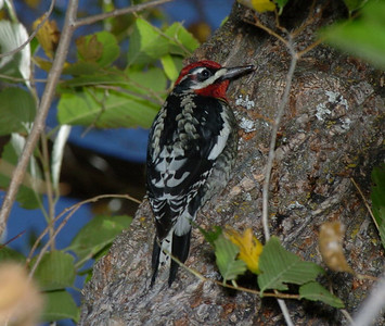Red-naped Sapsucker
