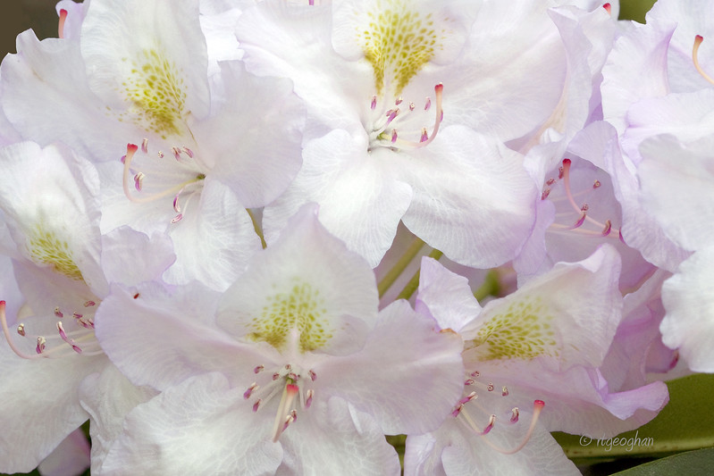 Flowering shrubs_Rhododendron_0051.jpg