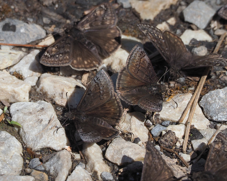 Sleepy Duskywings with Juvenal's in background