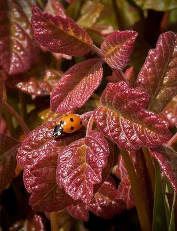 Ladybug on Poison Oak
