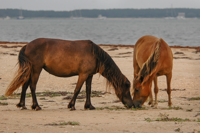 Wild Horses Grazing on Beach SB