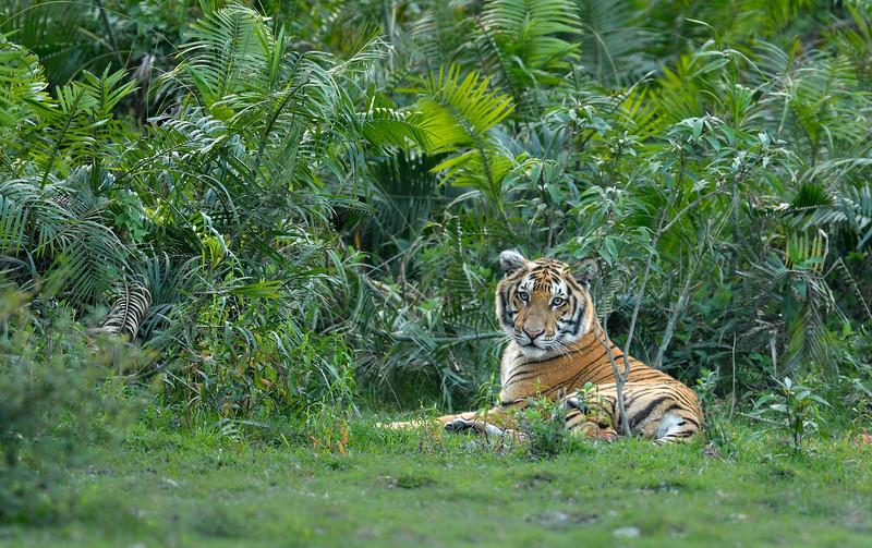 Tiger-green-throne-Kaziranga.jpg