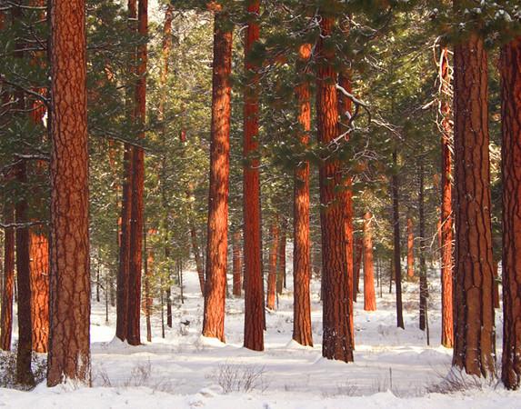 Winter Ponderosas Kate Thomas Keown 068.jpg