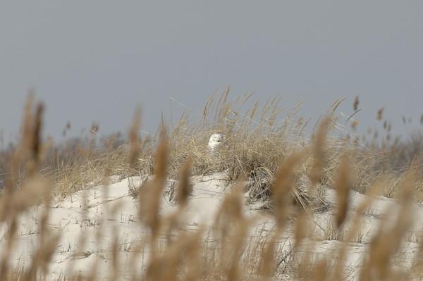 Snowy Owl Jones Beach
