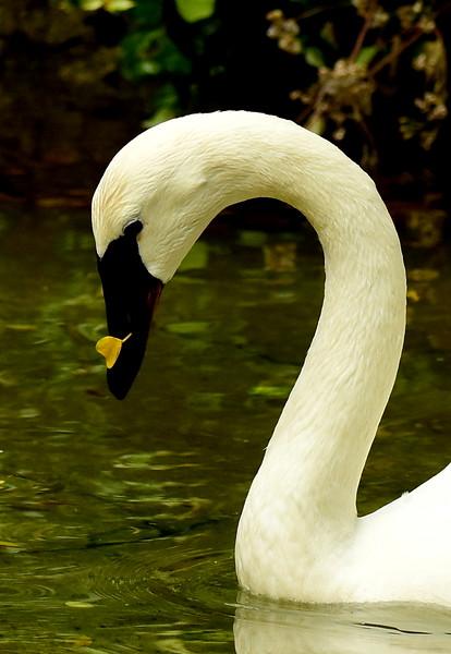 Swan with Leaf