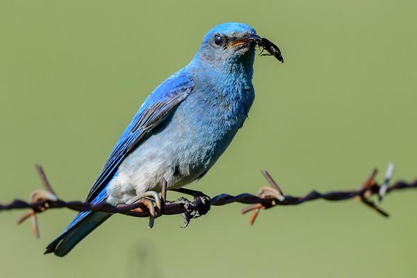 6-8-18 Mountain Blue Birds - Male & Female