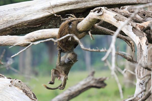 Olive Baboons Mara 2014