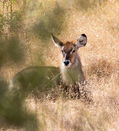 Waterbuck - Kruger