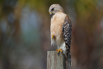 Hawks & Vultures