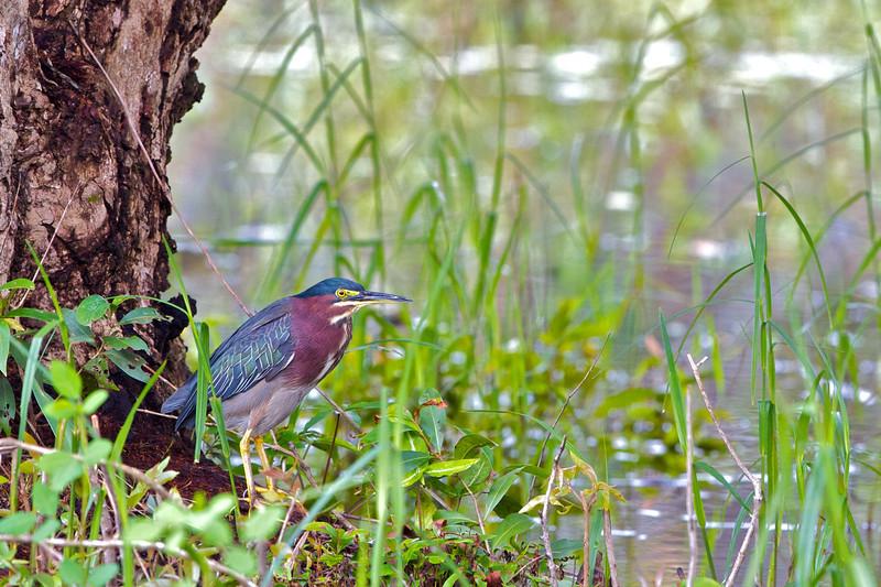 Green Heron (Ixobrychus exilis)