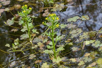Renoncule scélérate (Ranunculus sceleratus)