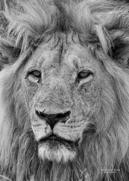 African Lion, b&w, Savuti, Chobe NP, Botswana, May 2017-18.jpg