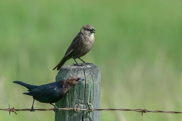 6-26-17 Brown-Headed Cowbirds - Male & Female