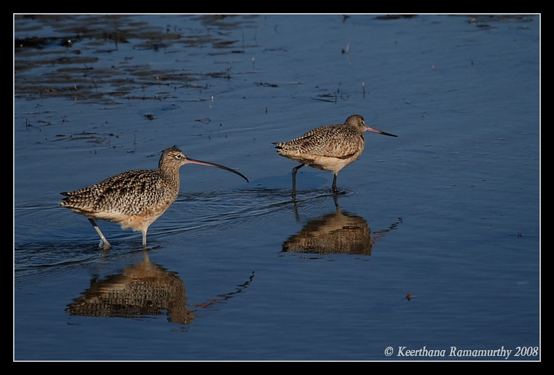 Long Billed Curlew & Marbled Godwit, Robb Field, San Diego River, San Diego County, California, December 2008