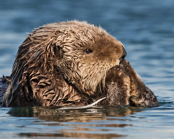 Sea Otters, Seals and River Otters