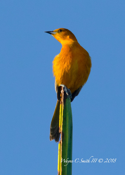 Female Hooded Altimira Oriole Perched