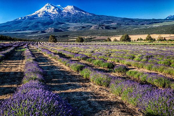 Shasta Lavender Farm