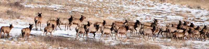Tell elk.jpg