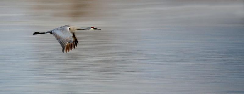 Sandhill Crane .jpg