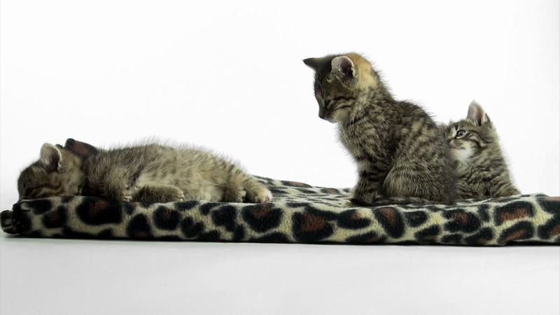 Kittens_tabby_016.mov