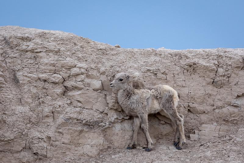 spring lamb in the rocks Badlands National Park-2850.jpg