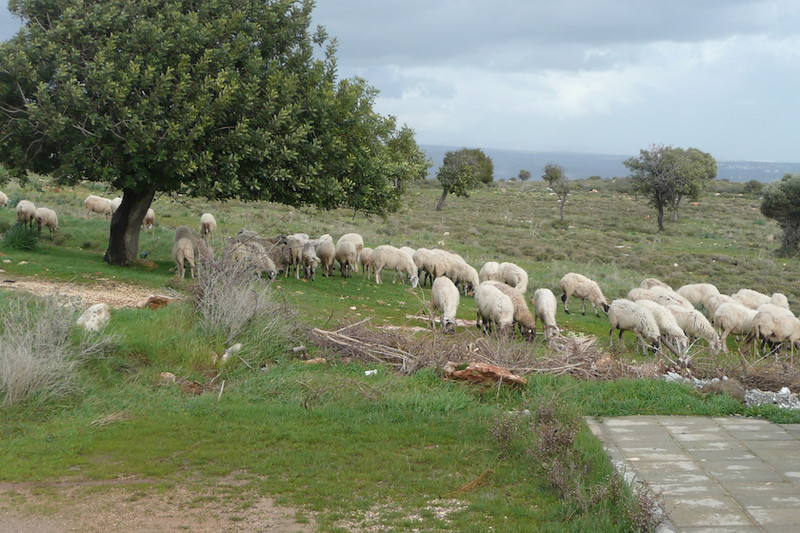Sheep grazing outside the house