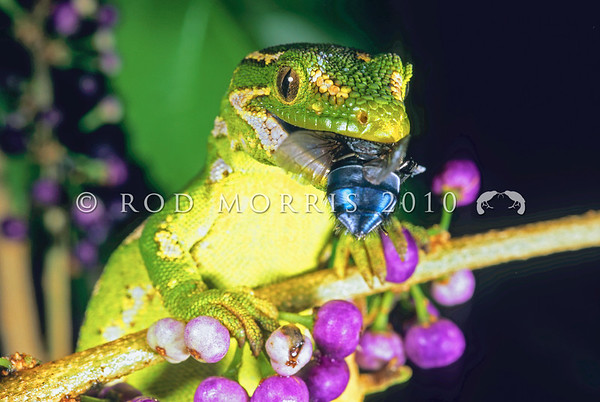 New Zealand Frogs & Reptiles