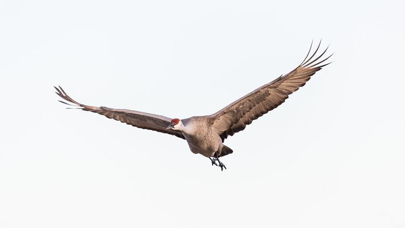 Crane18-5831.jpg