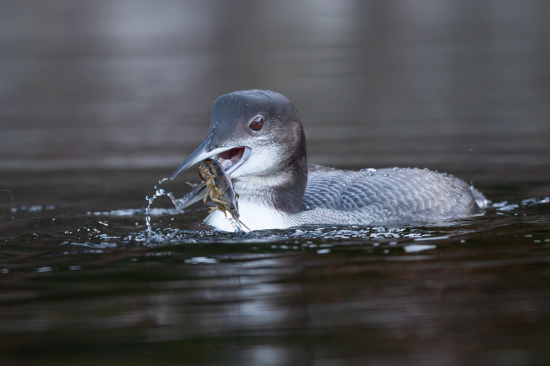 #1296 Common Loon Chick
