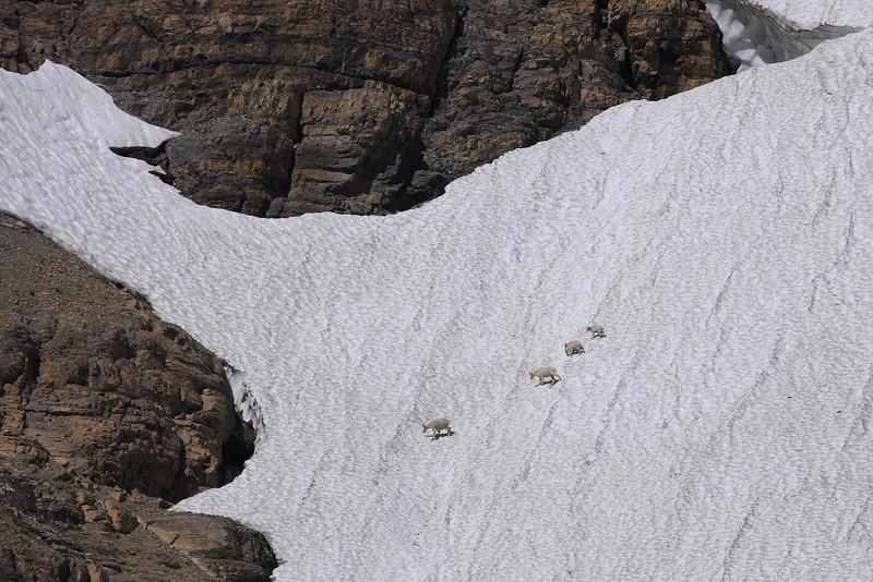 Goats on Ice