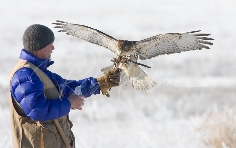 Falconer and Redtailed Hawk