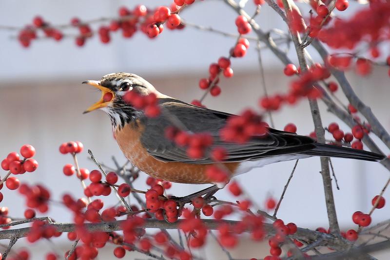 #1252  American Robin eating Winterberries