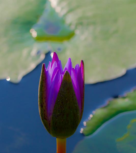 Lily  Pond 46