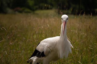 20200701 - Stork in Water Meadows